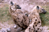 A Pair of Hyena Cubs Curled Up for a Nap Photographic Print by Shannon Switzer