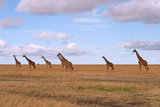 A Herd of Giraffe Stand in the Plains of Masai Mara National Reserve Photographic Print by Shannon Switzer