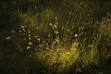 Autumn Grasses in Sunlight Photographic Print by Richard Olsenius