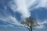 An Oak Tree During Spring, on the Shore of Long Island Sound Photographic Print by Michael Melford