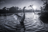A Male Mute Swan in a Pond Stretches His Wings in Ibirapuera Park Photographic Print by Alex Saberi