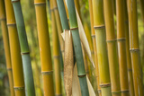 Stalks of Bamboo Photographic Print by Michael Melford
