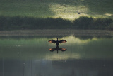 A Cormorant (Phalacrocorax Auritus) Stretches its Wings to Dry Them During Sunrise Photographic Print by Alex Saberi