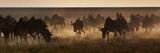 A Herd of Blue Wildebeests, Connochaetes Taurinus, Kicking Up Dust Photographic Print by Alex Saberi