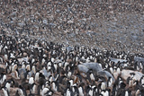A Huge Colony of Adelie Penguins Photographic Print by Jim Richardson