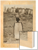 A Prospective Parent Penguin Shows Off its Superior Attitude Wood Print by Robert Cushman Murphy