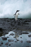 Portrait of an Adelie Penguin Reflected in a Puddle of Water Photographic Print by Jim Richardson