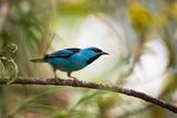 A Saira Bird Perches on a Tree in Ubatuba, Brazil Photographic Print by Alex Saberi