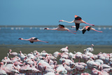 Greater Flamingos in Flight Near Walvis Bay, Namibia Photographic Print by Alex Saberi