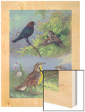 Painting of an Eastern Cowbird Pair and Eastern Meadowlarks Prints by Allan Brooks