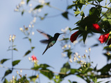 A Blue-Green Hummingbird Feeds from a Flower in Ubatuba, Brazil Photographic Print by Alex Saberi
