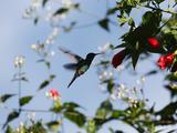 A Blue-Green Hummingbird Feeds from a Flower in Ubatuba, Brazil Photographic Print by Alex Saberi