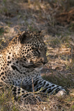 Portrait of a Leopard, Panthera Pardus, Resting Photographic Print by Sergio Pitamitz