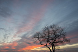 An Oak Tree, on the Shore of Long Island Sound, Is Silhouetted Against a Beautiful Sky at Sunrise Photographic Print by Michael Melford
