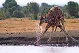 A Giraffe Takes a Drink of Water Between Splayed Legs in Sweetwater Reserve Photographic Print by Shannon Switzer
