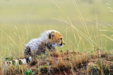 An African Cheetah Cub Resting Near its Mother's Tail Photographic Print by Babak Tafreshi