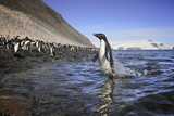 An Adelie Penguin Emerges from the Ocean Photographic Print by Jim Richardson