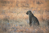 A Leopard, Panthera Pardus Pardus, Sits in Grass Aglow in the Setting Sun Photographic Print by Alex Saberi