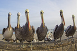 Peruvian Pelicans Sitting on a Seawall at the Beach Photographic Print by Mike Theiss