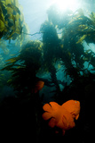 Garibaldi Fish Swim in a Bed of Kelp Photographic Print by Cesare Naldi