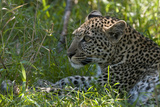 Portrait of a Young Leopard, Panthera Pardus, Resting in the Shade Photographic Print by Sergio Pitamitz