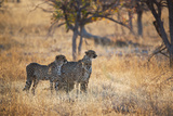 A Group of Cheetahs, Acinonyx Jubatus, on the Lookout for a Nearby Leopard at Sunset Photographic Print by Alex Saberi