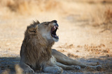 A Lion, Panthera Leo, Resting in the Shade, Lets Out a Roar Photographic Print by Alex Saberi