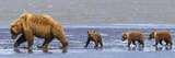 Brown Bear Sow and Her Three Cubs Walking on a Beach at Lake Clarke National Park Fotografisk tryk af Design Pics Inc