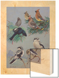 Painting of Songbirds Including Shrikes, Waxwings, and Phainopeplas Wood Print by Allan Brooks