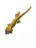 A Gecko Photographic Print by Rebecca Hale