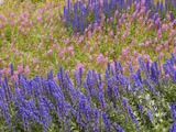 Wildflowers in Labrador, Lupine, and Fireweed Photographic Print by Michael Melford