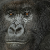 Portrait of a Mountain Gorilla from the Umubano Group Fotografisk tryk af Michael Melford