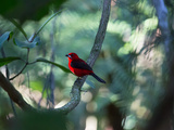 A Brazilian Tanager, Ramphocelus Bresilius, Perches in a Tree with a Tropical Backdrop Photographic Print by Alex Saberi