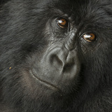 Portrait of a Mountain Gorilla from the Hirwa Group Fotografisk tryk af Michael Melford