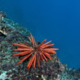 A Red Slate Pencil Urchin Photographic Print by Cesare Naldi