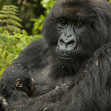 A Mother Mountain Gorilla and Her Child, from the Umubano Group Fotografisk tryk af Michael Melford