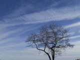 A White Oak and High Altitude Cirrus Clouds Photographic Print by Michael Melford
