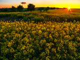 Sunset over a Rapeseed Flower Field Photographic Print by Babak Tafreshi