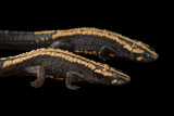 Laos Warty Newts at the National Mississippi River Museum and Aquarium Photographic Print by Joel Sartore