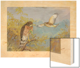 A Painting of Two Broad-Winged Hawks Wood Print by Allan Brooks