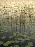 Lilies on Deadman Lake at Sunset Tetlin Nwr Sc Ak Summer Fotografie-Druck von  Design Pics Inc