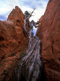 Juniper in a Rock Crevasse, Garden of the Gods, Colorado Photographic Print by Keith Ladzinski