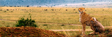 An African Cheetah and Her Cub Surveying the Landscape for Prey Fotografisk trykk av Babak Tafreshi