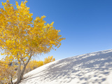 Cottonwood Trees with Fall Color in White Sands National Monument Photographic Print by Derek Von Briesen