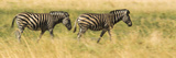 Two Zebras Walking on the Plains of the Selinda Reserve Photographic Print by Michael Melford