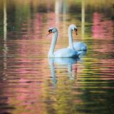 Two Swans Float on a Colorful Reflective Lake Fotografisk tryk af Alex Saberi