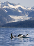 Pod of Orca Whales Surfacing Reproduction photographique par  Design Pics Inc