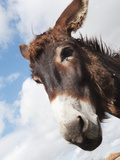 Donkey's Head Against a Blue Sky with Cloud; Charente, France Stampa fotografica di  Design Pics Inc
