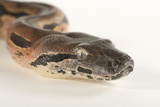 A Madagascar Ground Boa, Acrantophis Madagascariensis, at Tampa's Lowry Park Zoo Photographic Print by Joel Sartore