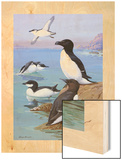 A Painting of Razor-Billed Auks and Murres Wood Print by Allan Brooks